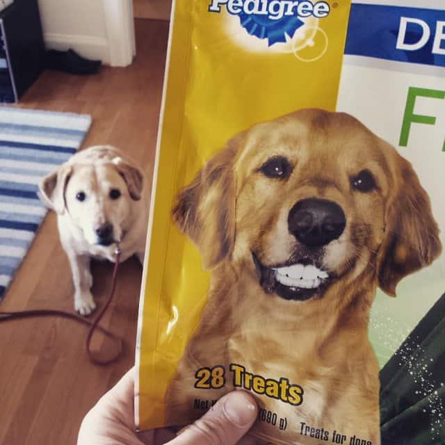 New pedigree treat for Labrador dog