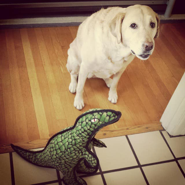 Labrador and dinosaur toy