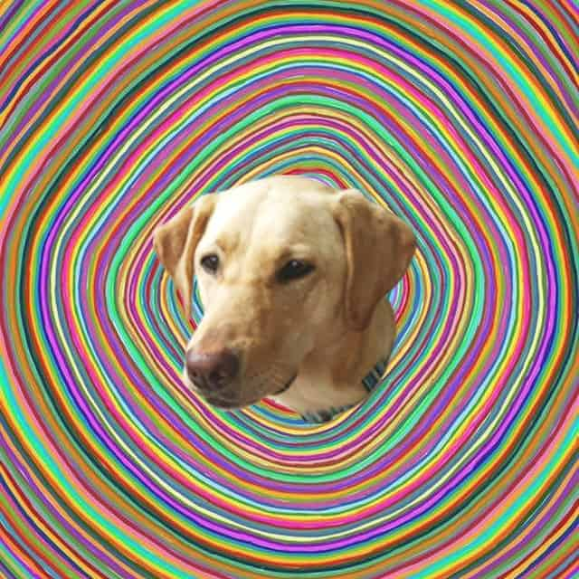 Labrador picture with a hippy background
