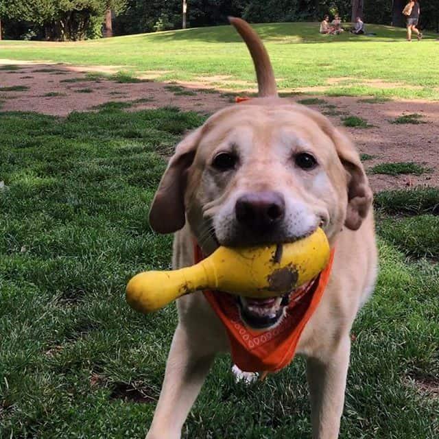 Labrador playing around outside
