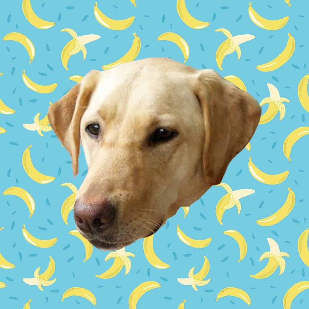 Labrador and bananas