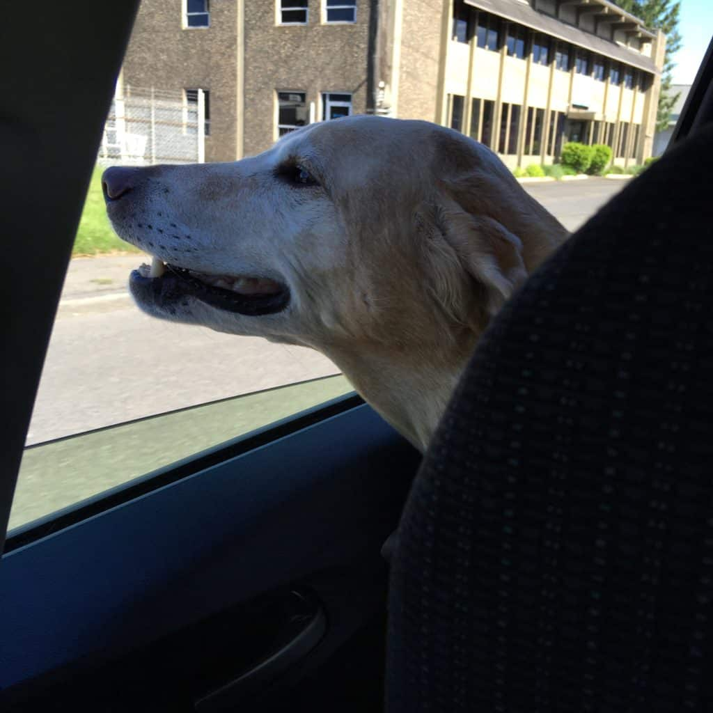 Riding in cars with boys. #labsofinstagram #labs #labsofportland #labstagram #labradorable #labradorretriever #mollythedog #labradors #labradoroftheday #retrievers #retrieversgram #talesoflabs #worldoflabs #labradoroftheday #thelablove_feature #justlabradors #labsofinsta #labs_of_insta #labradors4life #justlabradors #fab_labs_ #labslife #labradorsofinstagram