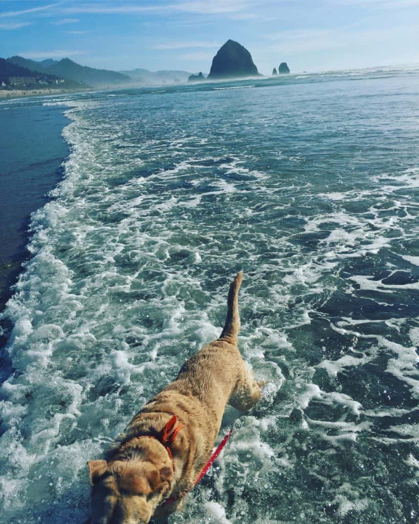 Molls when to the beach yesterday with @stevenshewach while @youngarchitxpdx was in meetings all day long on a Sunday. #labsofinstagram #labs #labsofportland #labstagram #labradorable #labradorretriever #mollythedog #labradors #labradoroftheday #retrievers #retrieversgram #talesoflabs #worldoflabs #labradoroftheday #thelablove_feature #justlabradors #labsofinsta #labs_of_insta #labradors4life #justlabradors #fab_labs_ #labslife #labradorsofinstagram #labrador_class