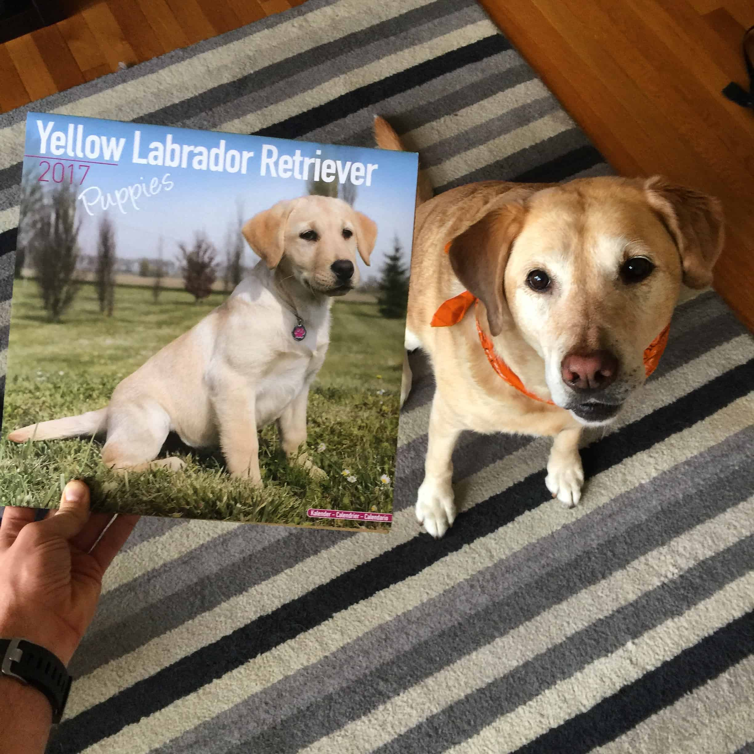 FOUR YEARS of yellow lab calendars! #mollyriscica #yellowlabradorcalendar #labsofinstagram #labs #labsofportland #labstagram #labradorable #labradorretriever #mollythedog #labradors #labradoroftheday #retrievers #retrieversgram #talesoflabs #worldoflabs #labradoroftheday #thelablove_feature #justlabradors #labsofinsta #labs_of_insta #labradors4life #justlabradors #fab_labs_ #labslife #labradorsofinstagram #labrador_class