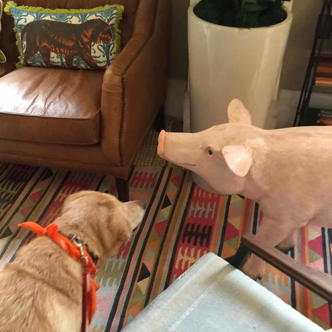 Labrador and a Pig