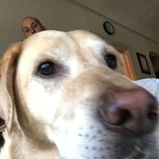 Labrador taking a selfie
