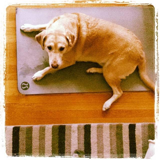 Labrador chilling on a carpet
