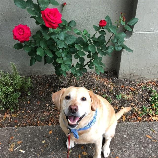 Labrador standing next to roses