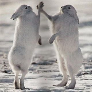 Two rabbits fighting