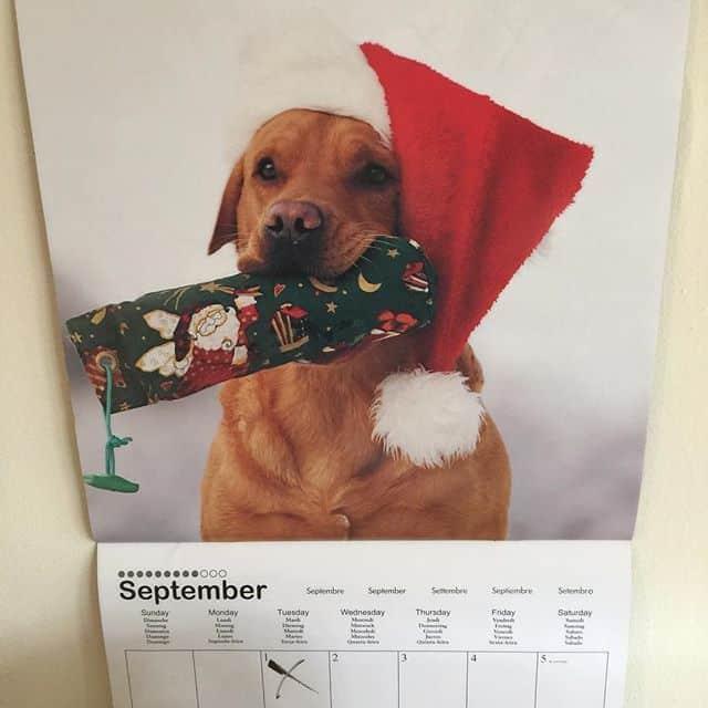Calendar with a Labrador