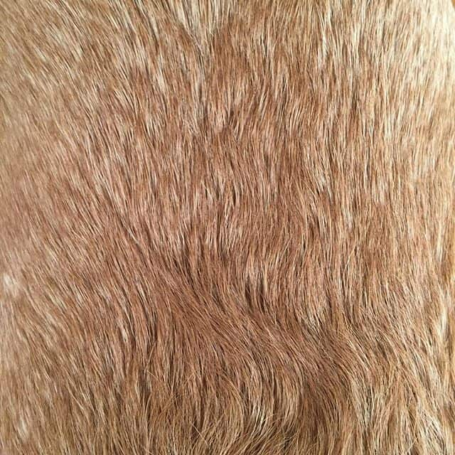 Labrador fur